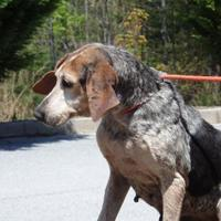 Bluetick Coonhound Mix Dog for adoption in Tiger, Georgia - Mamaw