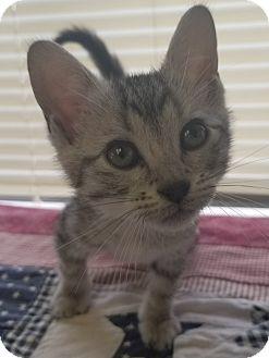 Domestic Shorthair Kitten for adoption in Havelock, North Carolina - Izzy