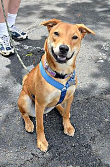 Chow Chow/American Staffordshire Terrier Mix Puppy for adoption in Linden, New Jersey - SANDY - DNA TESTED SEE RESULTS
