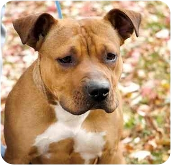 Boxer/American Pit Bull Terrier Mix Puppy for adoption in Long Beach, New York - Scoobie