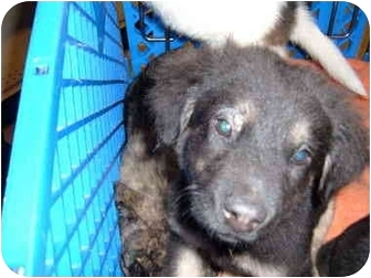German Shepherd Dog/Border Collie Mix Puppy for adoption in No.Charleston, South Carolina - Storm