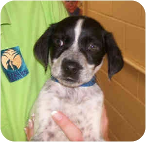 Australian Cattle Dog Mix Puppy for adoption in Puunene, Hawaii - Ivan