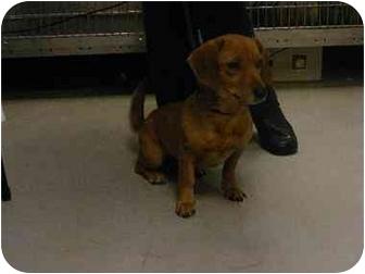 Dachshund Mix Dog for adoption in Alexandria, Virginia - Venus
