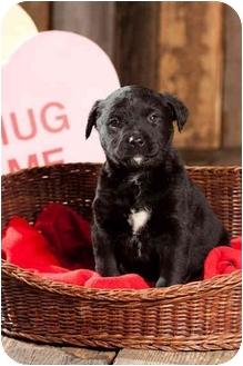 Labrador Retriever Mix Puppy for adoption in Portland, Oregon - Lady Figaro