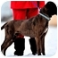 Photo 2 - Bullmastiff/Labrador Retriever Mix Dog for adoption in Pawling, New York - FABLE