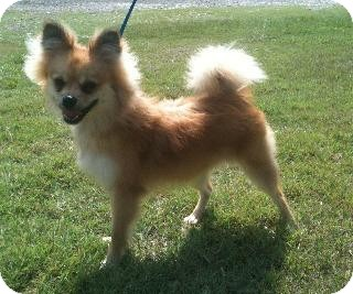 Pomeranian Dog for adoption in Hammond, Louisiana - Ajax