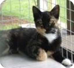 Domestic Shorthair Kitten for adoption in Franklin, West Virginia - Amy