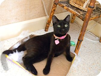 Domestic Shorthair Cat for adoption in Naples, Florida - BLACKY