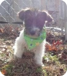 Dachshund/Terrier (Unknown Type, Small) Mix Puppy for adoption in Spruce Pine, North Carolina - Juanita