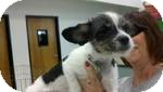 Terrier (Unknown Type, Small)/Cavalier King Charles Spaniel Mix Dog for adoption in Simi Valley, California - Chex