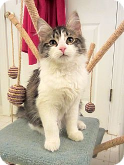 Domestic Mediumhair Kitten for adoption in Arlington, Virginia - Ivan