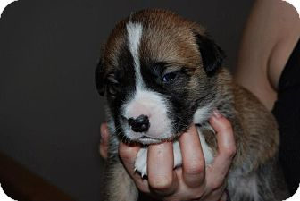 Collie/Shepherd (Unknown Type) Mix Puppy for adoption in Spruce Grove, Alberta - Rylie