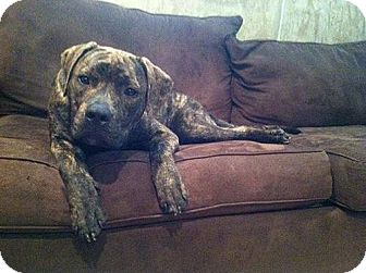 Pit Bull Terrier Mix Dog for adoption in WARREN, Ohio - Remy
