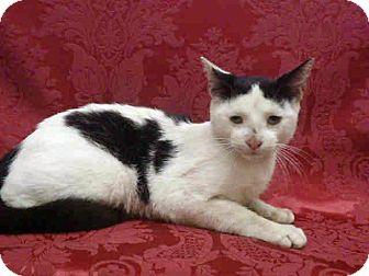 Domestic Shorthair Cat for adoption in Arcadia, California - Claus