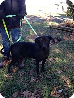 Labrador Retriever/Shepherd (Unknown Type) Mix Dog for adoption in Baxter, Tennessee - Logan