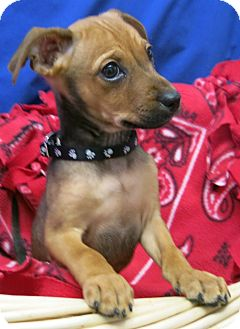 Australian Shepherd Mix Puppy for adoption in Buena Vista, Colorado - Cyprus