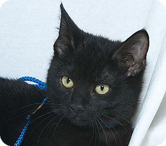 Domestic Shorthair Kitten for adoption in Sacramento, California - Xenia V
