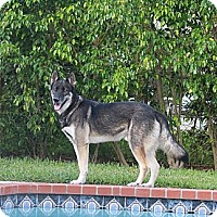 Adopt A Pet :: Scout - Lake Worth, FL