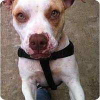 Adopt A Pet :: Noelani - Plano, TX