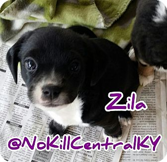 Cocker Spaniel/Beagle Mix Puppy for adoption in Lancaster, Kentucky - Zila