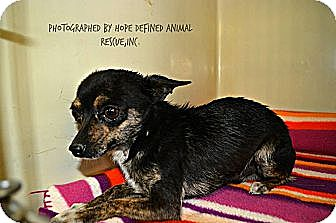 Chihuahua Dog for adoption in Ft. Collins, Colorado - Sanchez