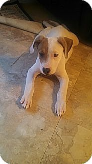 Labrador Retriever/Jack Russell Terrier Mix Puppy for adoption in Nashville, Tennessee - Maxwell