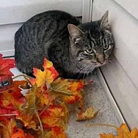 Domestic Shorthair Cat for adoption in Prestonsburg, Kentucky - marcus