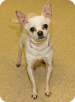 Chihuahua Mix Dog for adoption in Seville, Ohio - Zelda