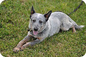 Blue Heeler Mix Dog for adoption in Mt. Sterling, Kentucky - Jasper
