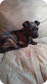 American Staffordshire Terrier Mix Puppy for adoption in WAGONER, Oklahoma - Libby