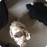 Adopt A Pet :: Sophie - selden, NY