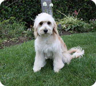 Cockapoo/Poodle (Miniature) Mix Puppy for adoption in Newport Beach, California - CALLAN