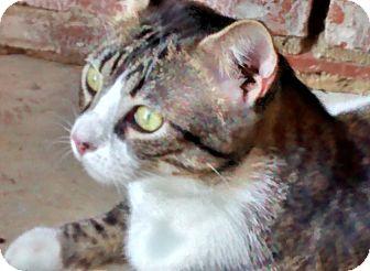 Bengal Cat for adoption in Denton, Texas - Otis - One Big Loving Bengal!