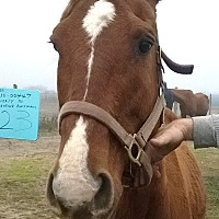 Quarterhorse Mix for adoption in Hitchcock, Texas - Lucinda