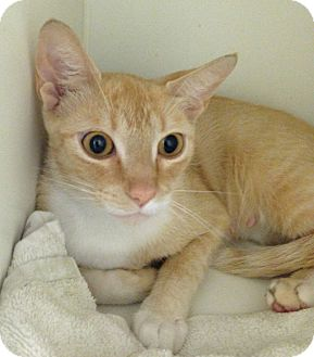 Domestic Shorthair Cat for adoption in Putnam Hall, Florida - Pebbles