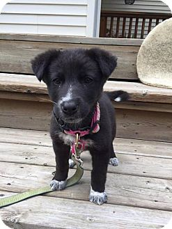 Labrador Retriever/Border Collie Mix Puppy for adoption in Saskatoon, Saskatchewan - Lola - Pending