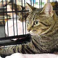 Adopt A Pet :: Diamond - College Station, TX