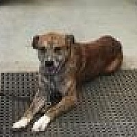 German Shepherd Dog/Boxer Mix Dog for adoption in Flintstone, Maryland - Zeus
