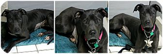 Great Dane Mix Dog for adoption in Forked River, New Jersey - Angel