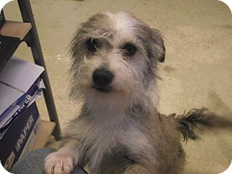 Cairn Terrier Mix Dog for adoption in Delta, Colorado - Apolo