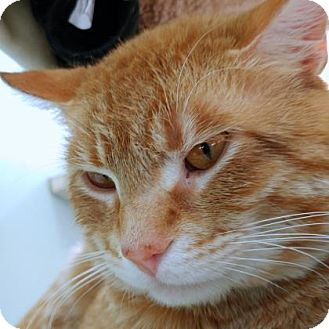 Domestic Shorthair Cat for adoption in Janesville, Wisconsin - Clifford