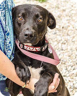 Labrador Retriever/Mixed Breed (Medium) Mix Dog for adoption in Middlebury, Connecticut - Sage