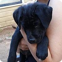 Adopt A Pet :: Pancake - ROSENBERG, TX