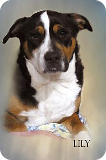 Border Collie/Australian Shepherd Mix Dog for adoption in E. Wenatchee, Washington - Lily