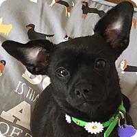 Adopt A Pet :: Teisha - Lexington, KY