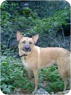 German Shepherd Dog/Jindo Mix Dog for adoption in Southern California, California - Tuesday