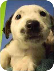 Labrador Retriever Mix Puppy for adoption in Kansas City, Missouri - Courtesy List-A12249756- 1/24