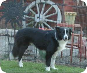 Border Collie Dog for adoption in Tracy, California - Moe