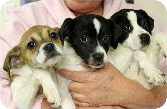Boston Terrier/Jack Russell Terrier Mix Puppy for adoption in Cincinnati, Ohio - Bostie/Jacks: One Left!