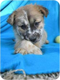 Australian Shepherd/Labrador Retriever Mix Puppy for adoption in Knoxville, Tennessee - Harmony